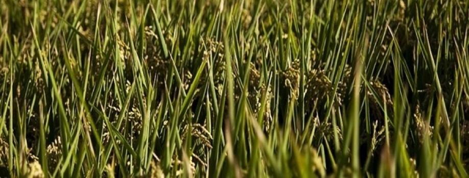 Arròs i conservació d'aiguamolls
