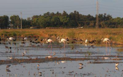 Arrossars de pas: Illes per a les aus migratòries en un mar d'arròs